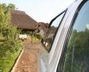Jolie asomando la cabeza por la ventanilla del coche