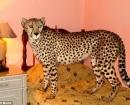Los Pienaars decian que Jolie dormía en su cama con ellos hasta que el guepardo se hizo demasiado grande