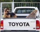 Jolie deja espacio en la parte trasera de la camioneta pick-up para Franky, un pastor alemán