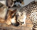 Jolie el guepardo se lleva muy bien con Franky, el perro, de la familia