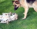 Jolie en la hierba con Franky el pastor alemán