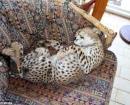 Acurrucado en el sofá durmiendo su siesta diaria
