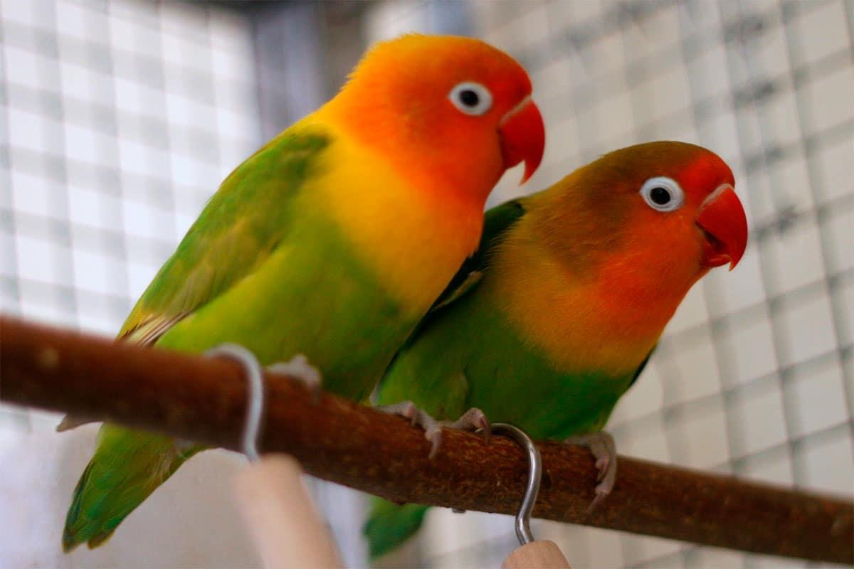 ins parable de fischer agapornis fischeri   oiseaux
