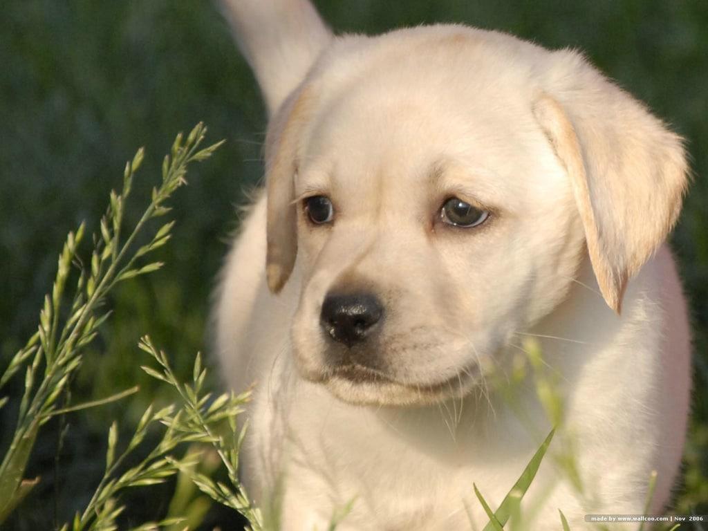 Labrador Retriever Best Dog
