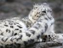 leopardo-de-las-nieves1