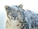 leopardo-de-las-nieves7