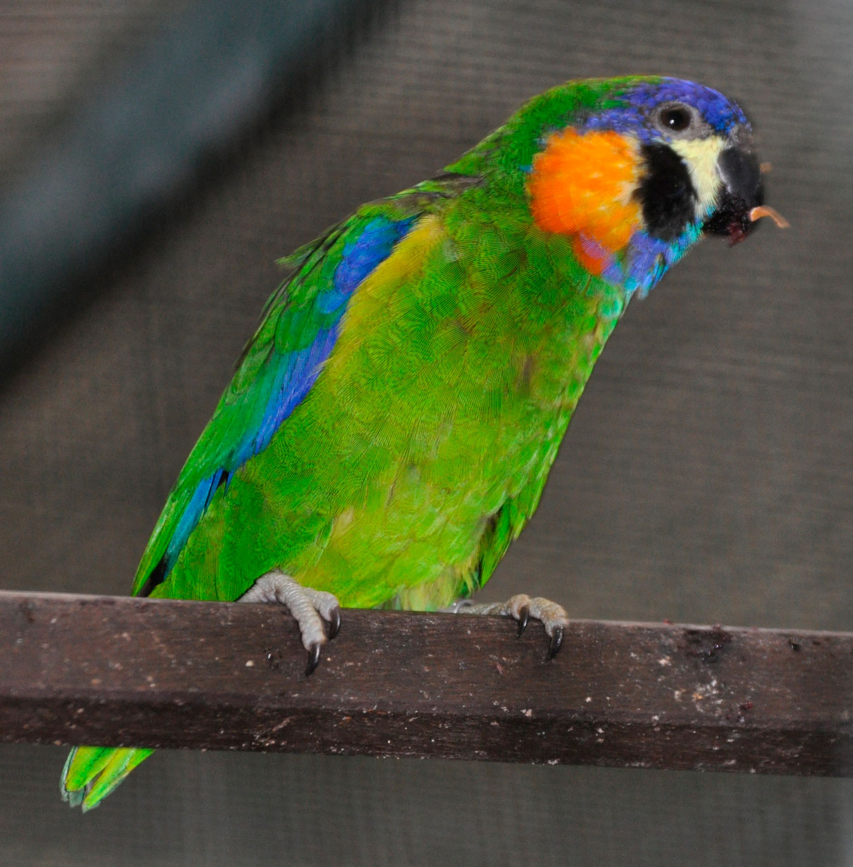 Blue Fronted Fig Parrot 39