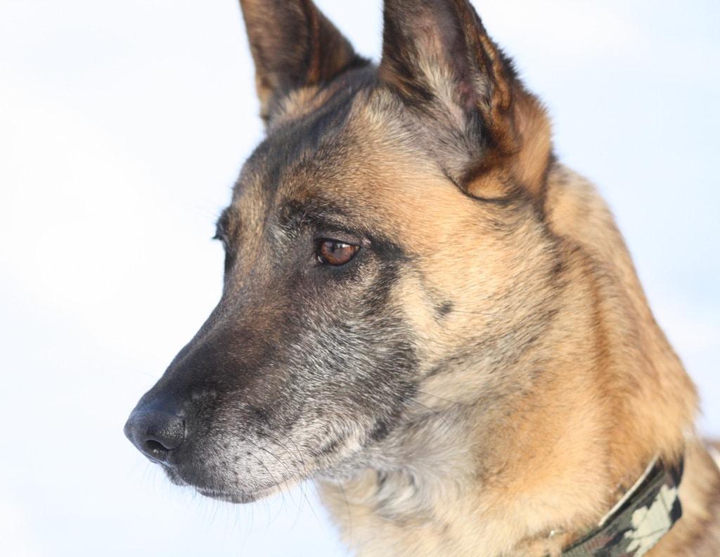 Malinois Dog With Pets