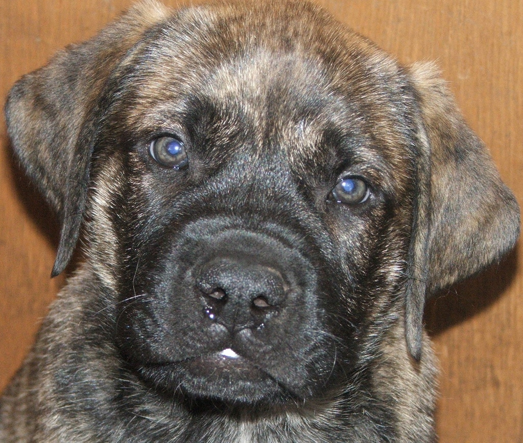 English Mastiff Dogs Breeds