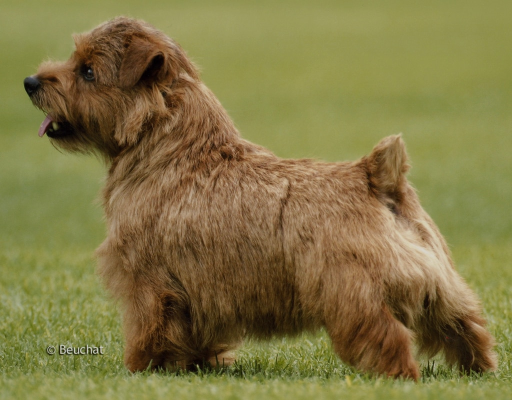 Norfolk Terrier Dogs Breeds Pets
