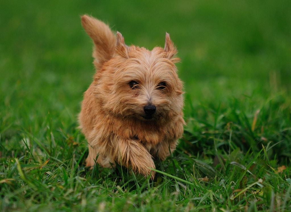 Norfolk Terrier Razas Perros Mascotas