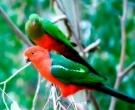 Papagayo-Australiano-(2).jpg
