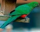 Papagayo-Australiano-(3).jpg