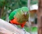 Papagayo-Australiano-(4).jpg