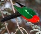 Papagayo-Australiano-(5).jpg