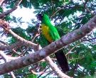 Papagayo-Enmascarado-(5)