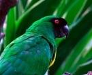 Papagayo-Enmascarado-(6)