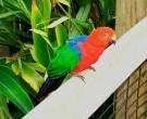 Papagayo-Moluqueno-(4).jpg