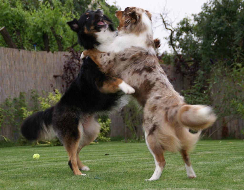 Popular Dog Breeds Australia