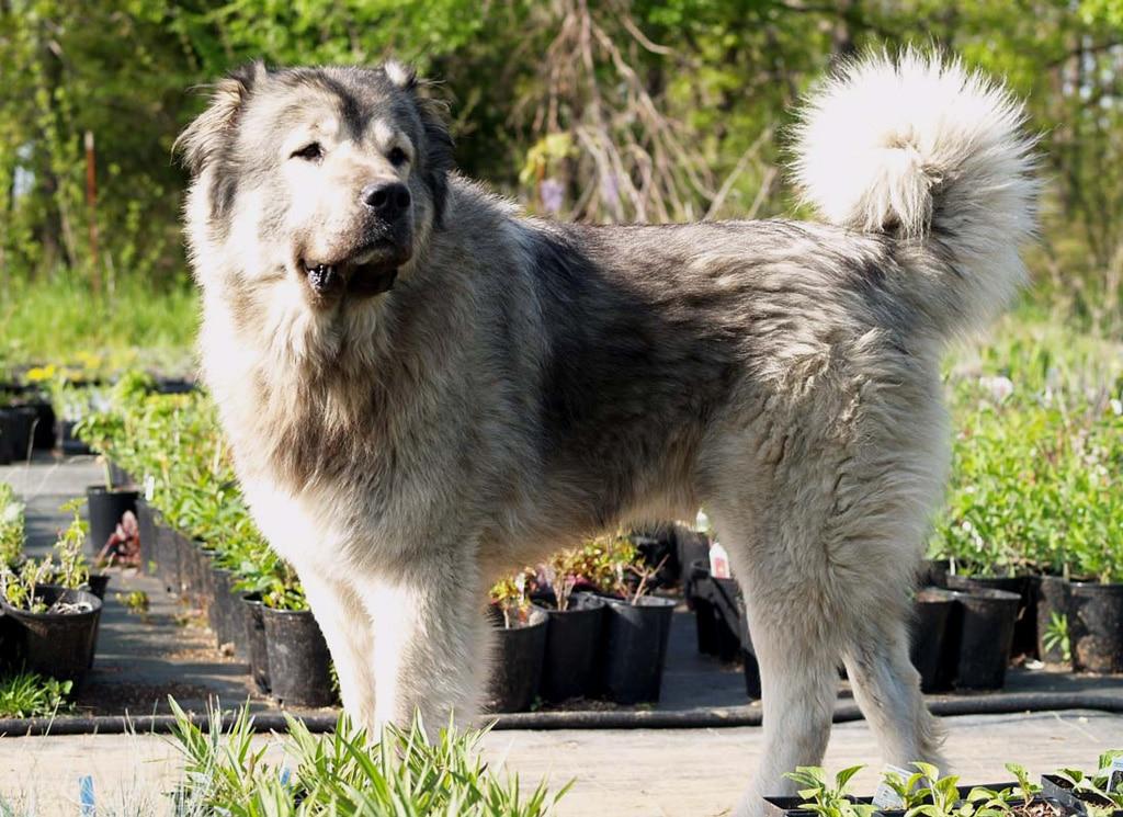 Caucasian Mountain Shepherd For Sale >> Pastor Caucásico - Razas perros | Mascotas