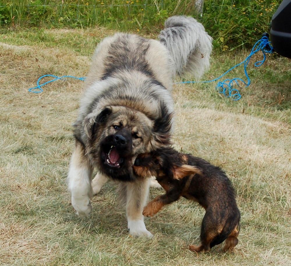 Caucasian Shepherd - Dogs breeds | Pets