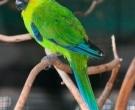 Perico-cornudo-(4)