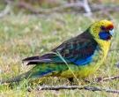 Perico-de-Tasmania-(3).jpg