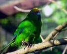 Perico-Maori-Cabecigualdo-(2)