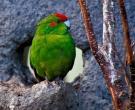 Perico-Maori-Rojo-(3)