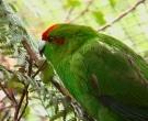 Perico-Maori-Rojo-(4)
