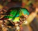periquito-migrador-3