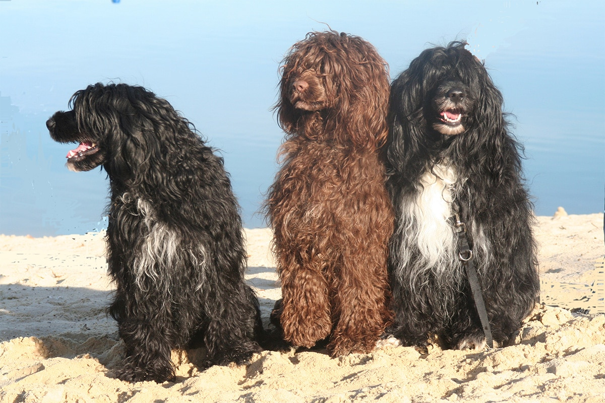 условия содержания собаки породы португальская водяная собака