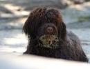 perro-de-agua-portugues