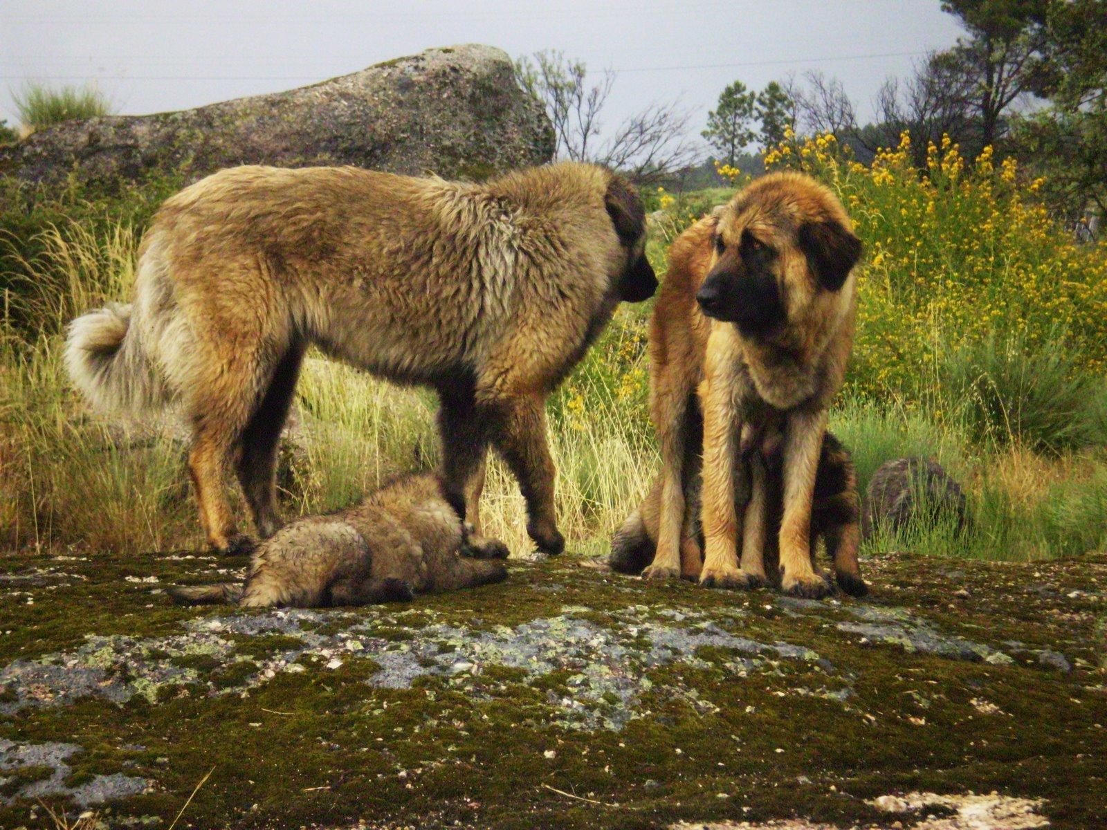 Portuguese Mountain Dog Puppies
