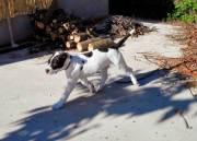 Dogo-espanol-4
