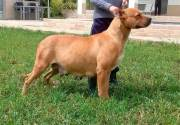 Dogo-espanol-5