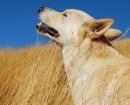 Perro de Canaán