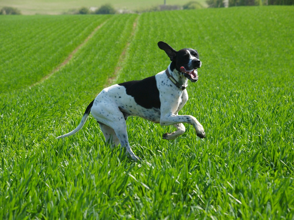 Training Hunting Dogs Videos