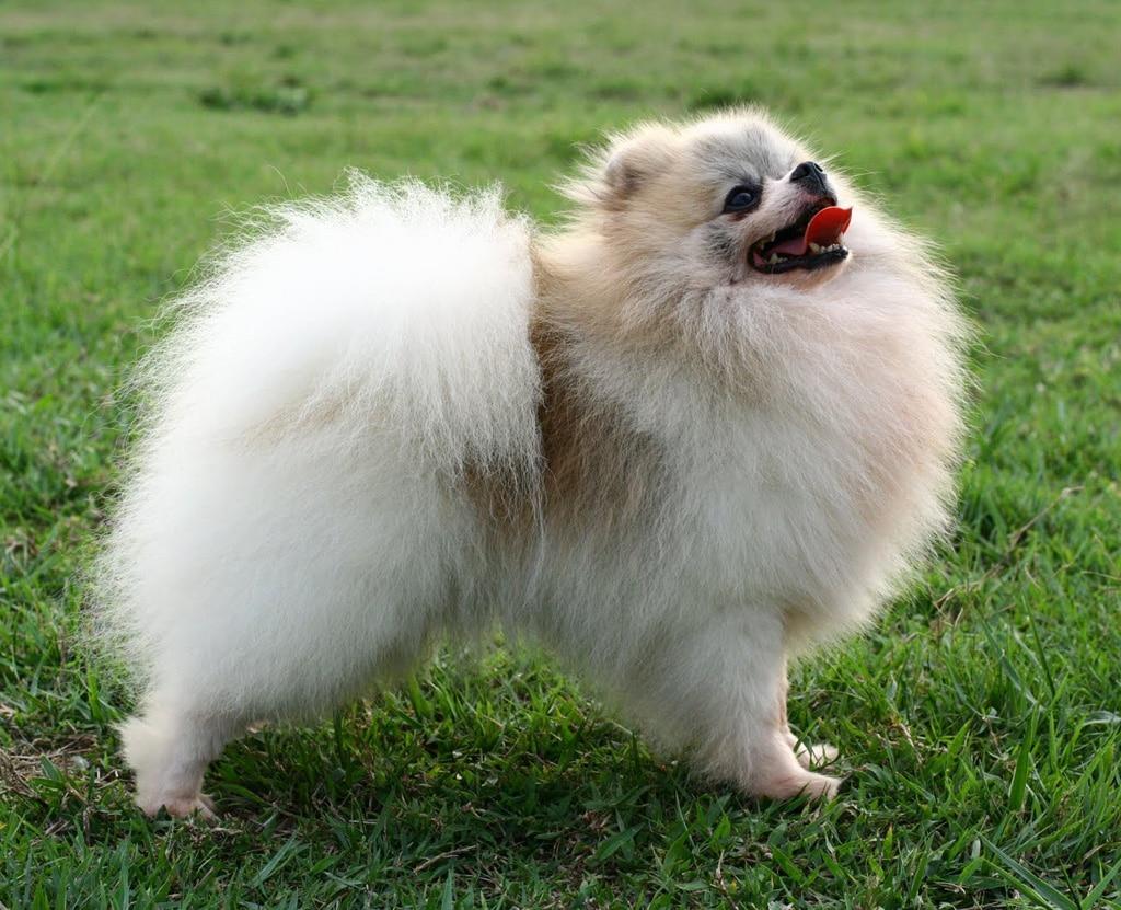 Pomerania - Dogs breeds | Pets