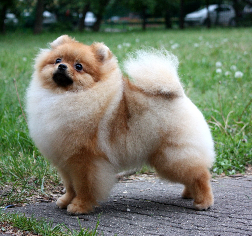 Pictures of pomeranian haircuts