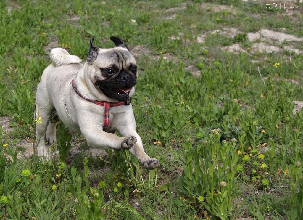 Pug - Dogs breeds | Pets