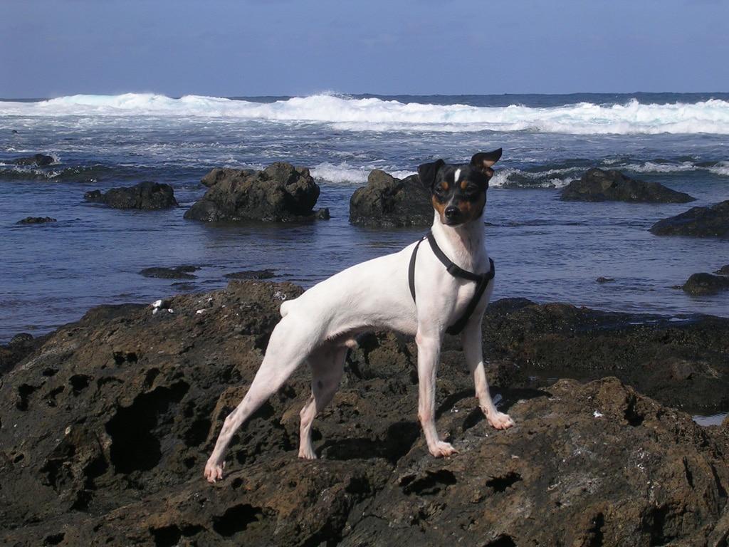 Ratonero Bodeguero Andaluz Dogs Breeds Pets