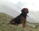 Sabueso del Tirol