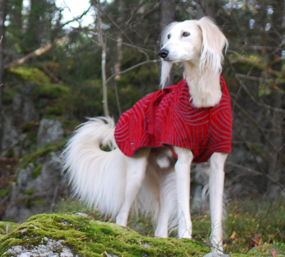 Saluki Dogs Breeds Pets