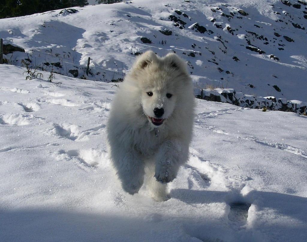Samoyed Dogs Breeds Pets