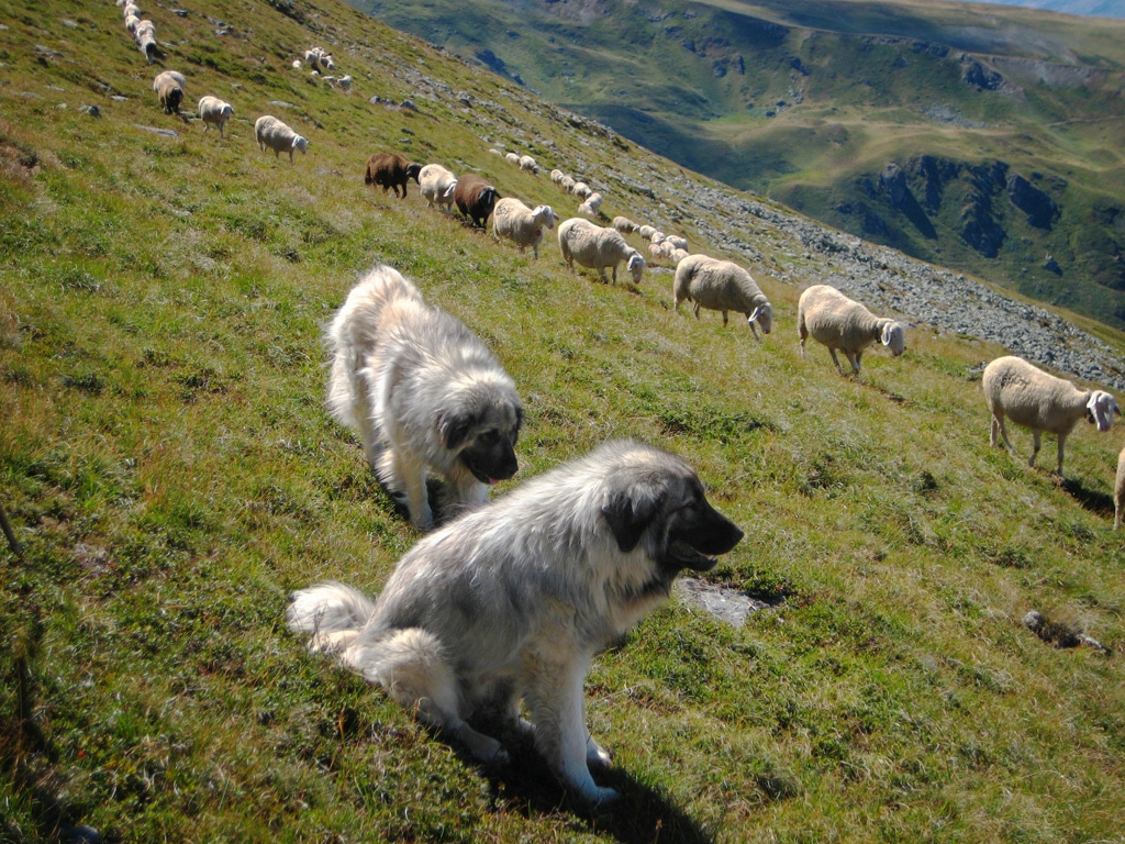 Šarplaninac dogs breeds pets