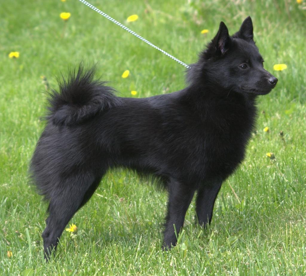 Schipperke Dogs Breeds Pets