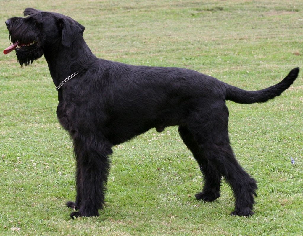 Giant Schnauzer Dogs Breeds Pets