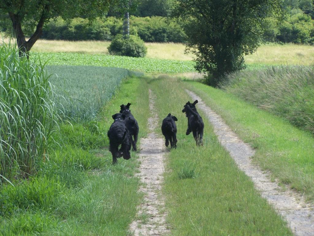 Schnauzer Gigante Razas Perros Mascotas