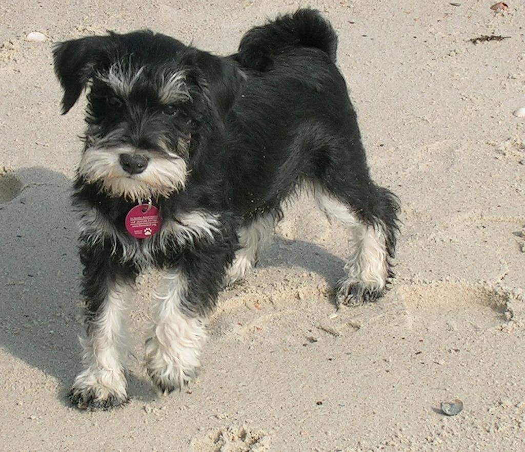 Schnauzer Miniatura Razas Perros Mascotas